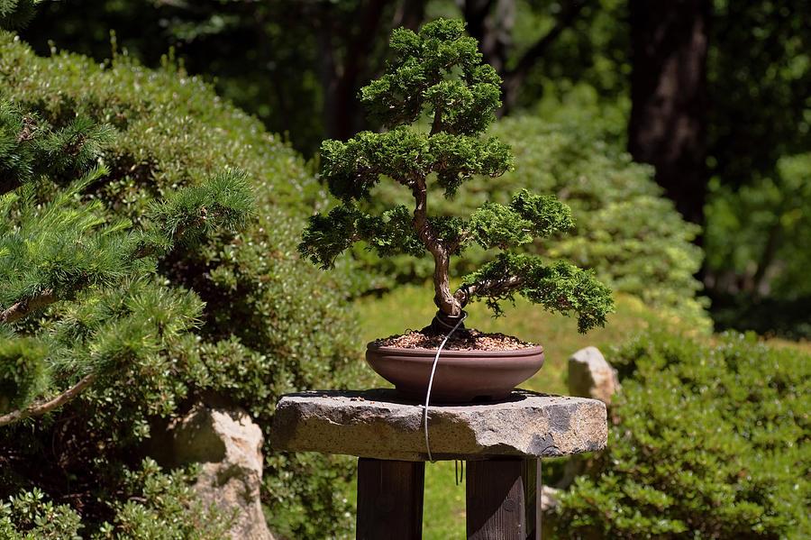 Hinoki Cypress Bonsai Photograph By Jenny Rainbow