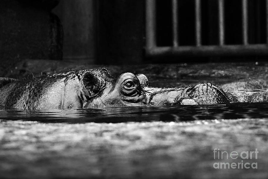 Hippo lurking around by Bridget Mejer