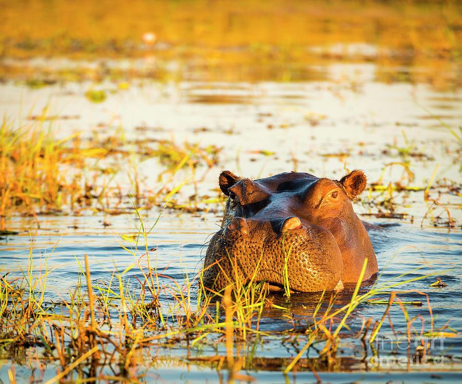 Hippopotamus Chobe River Photograph