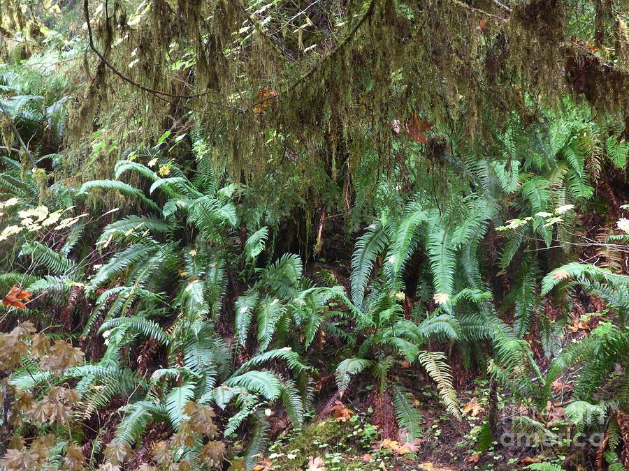Hoh Rainforest - Fern Photograph