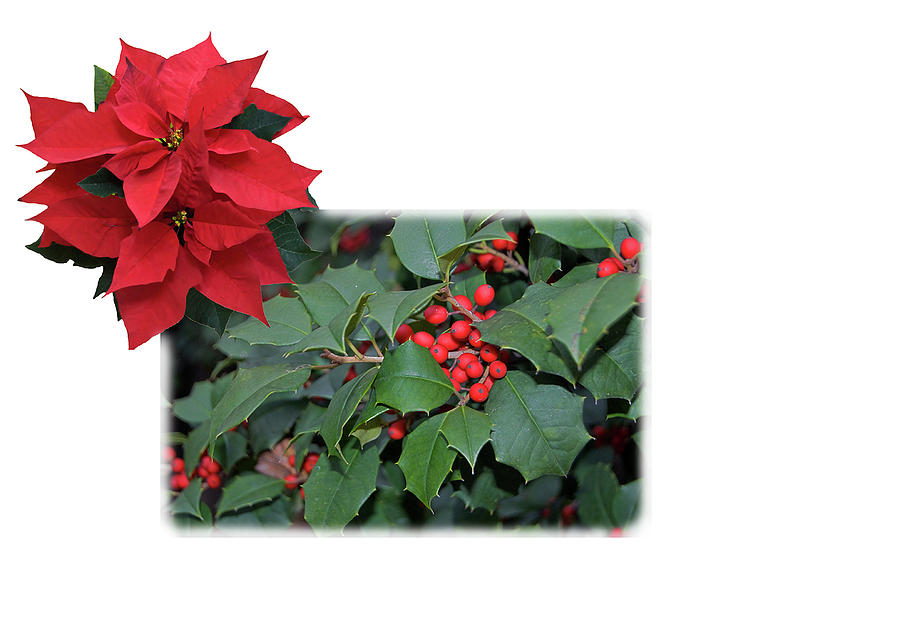 Holly Poinsettia Card by Gene Norris