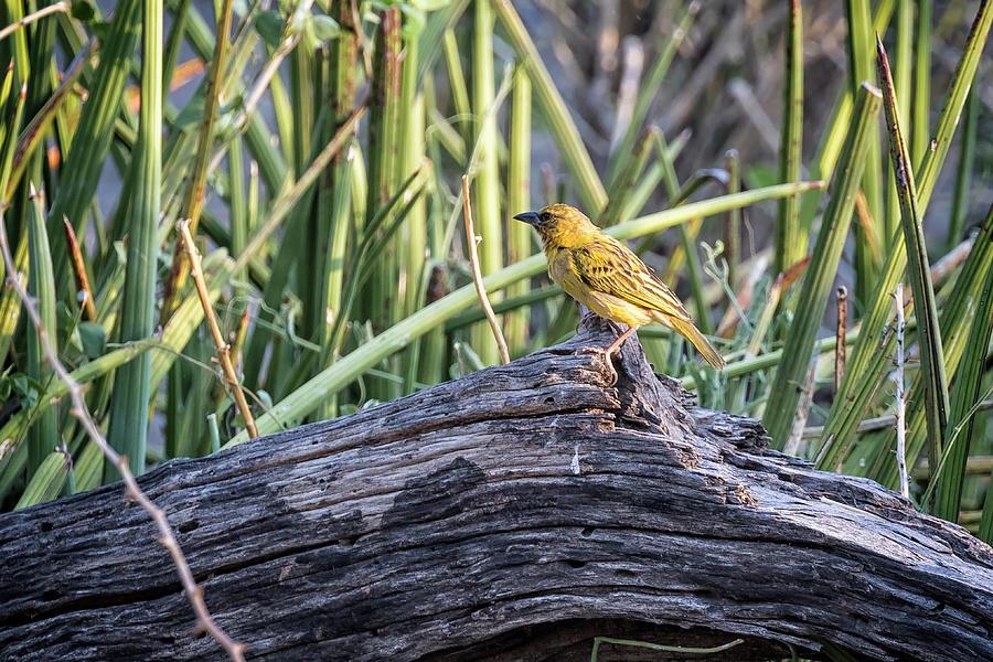 Holubs Golden Weaver Photograph