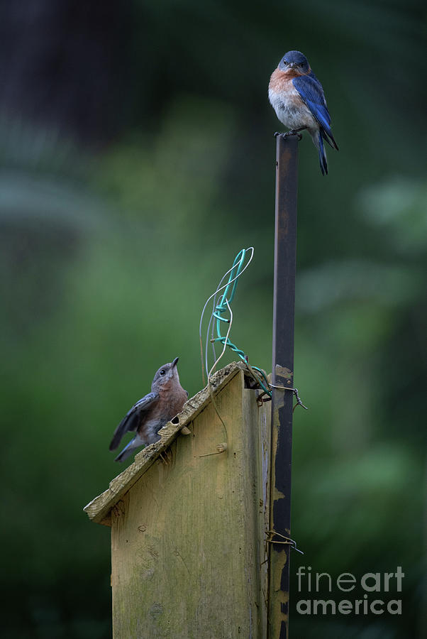 Home Sweet Home - Eastern Blue Birds Photograph