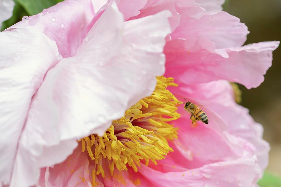 Honeybee On Pink Peony Flower Photograph
