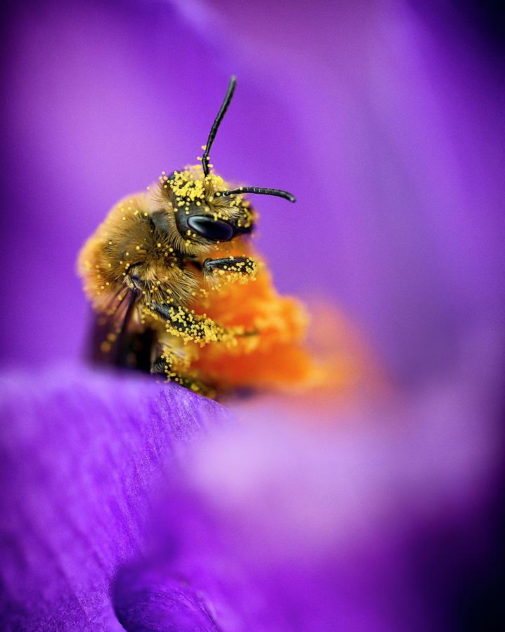 Honeybee Pollinating Crocus Flower Photograph