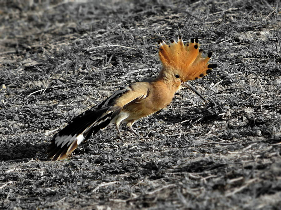 Hoopoe by Lyuba Filatova