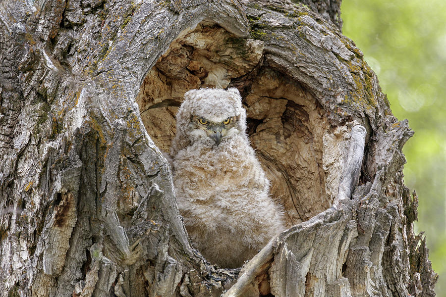 Horned Owlet by Ronnie and Frances Howard