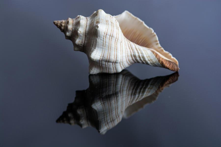 Horse Conch Seashell Photograph