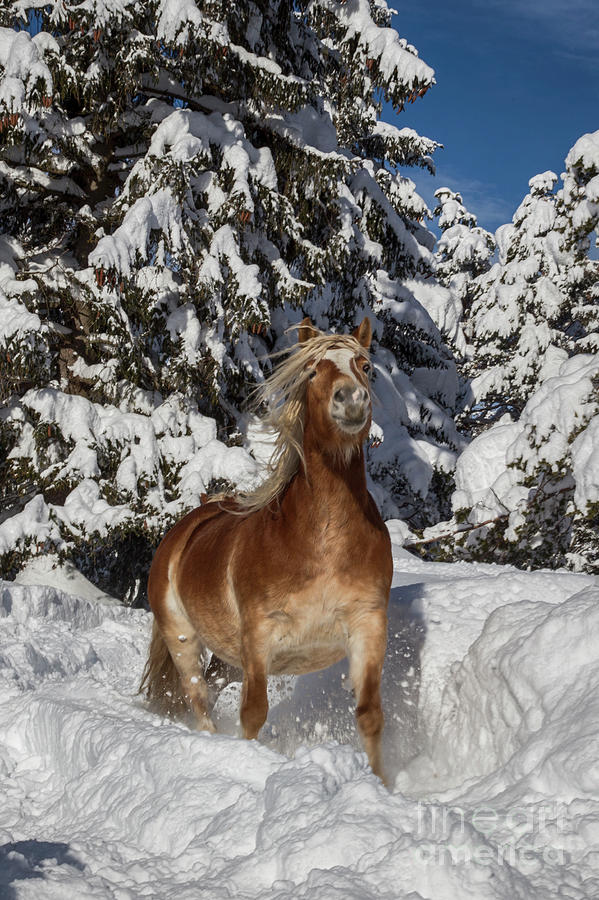 Horse in the Snow by Fabian Roessler
