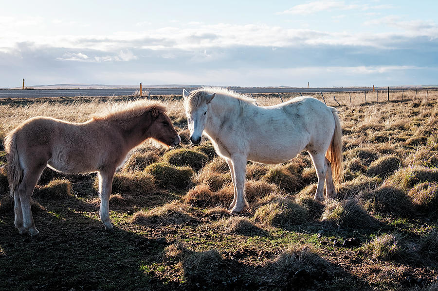 Horses of Iceland by Catherine Reading