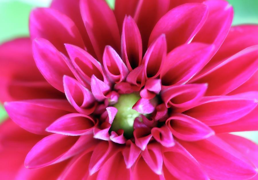Hot Pink Dahlia Blooming Photograph