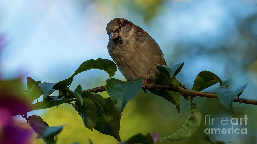 House Sparrow with Blue and Green Background Cadiz by Pablo Avanzini