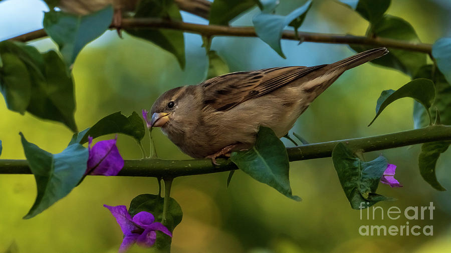 House Sparrow with Purple Bougainvillea Green Background Cadiz by Pablo Avanzini