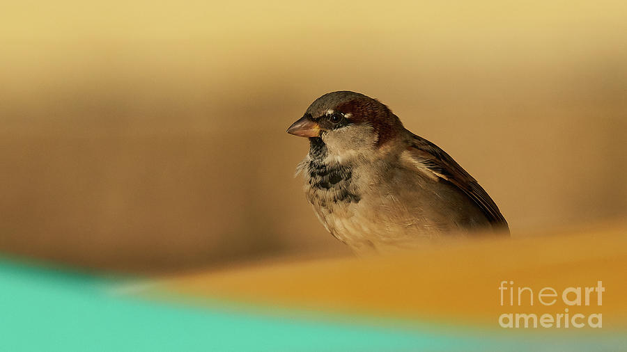 House Sparrow with Yellow Background and Green Foreground by Pablo Avanzini