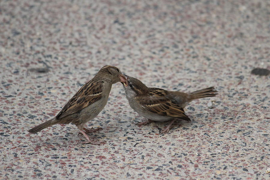 House Sparrows Photograph - House Sparrows by Callen Harty