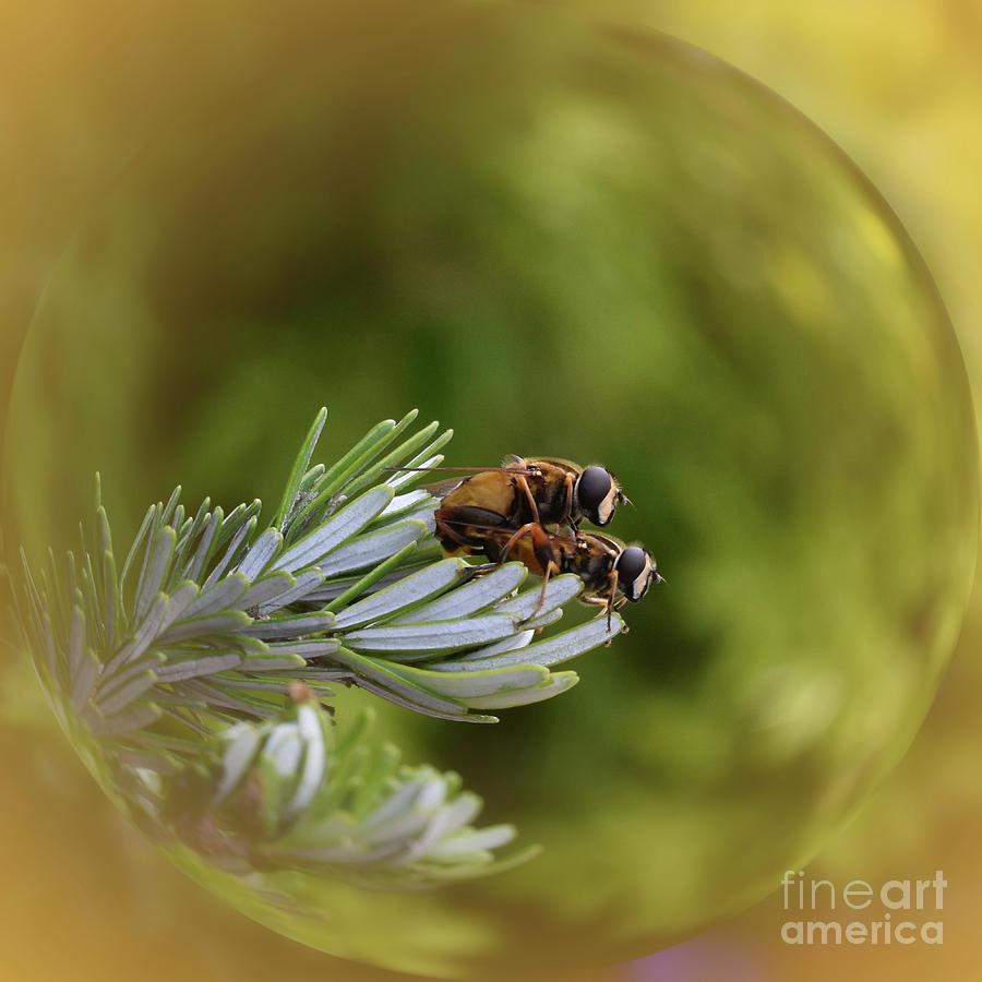 Hoverflies Mating - Helophilus pendulus by Yvonne Johnstone