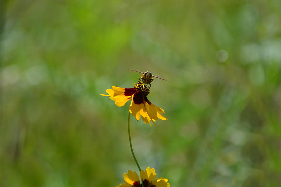 Hoverfly Posing On Wildflower Photograph