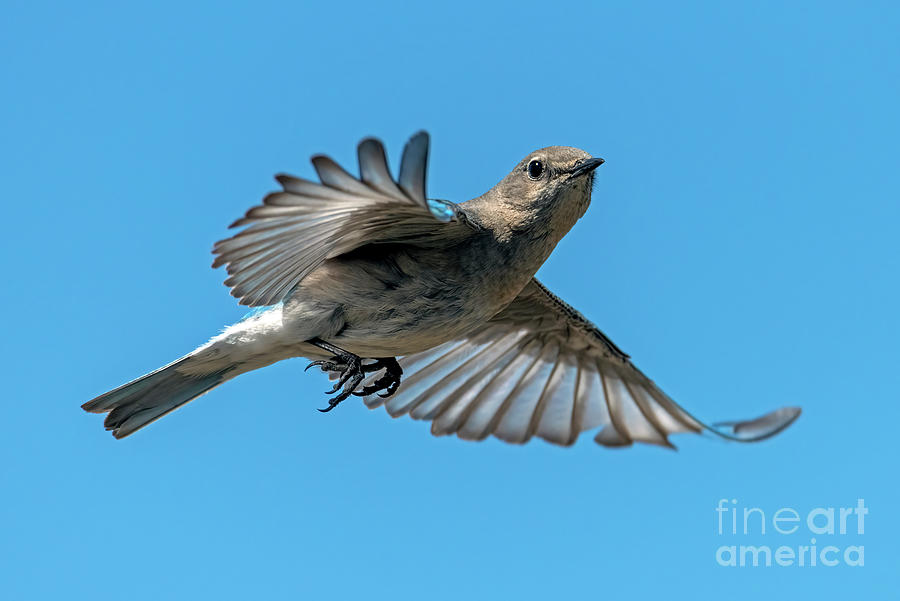 Bluebird Photograph - Hovering Around by Mike Dawson