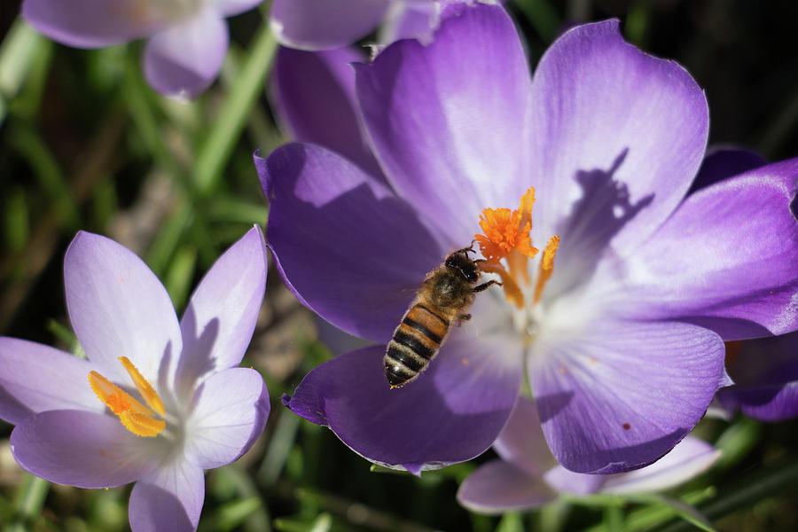 Hovering Honeybee Creating Shadow Photograph