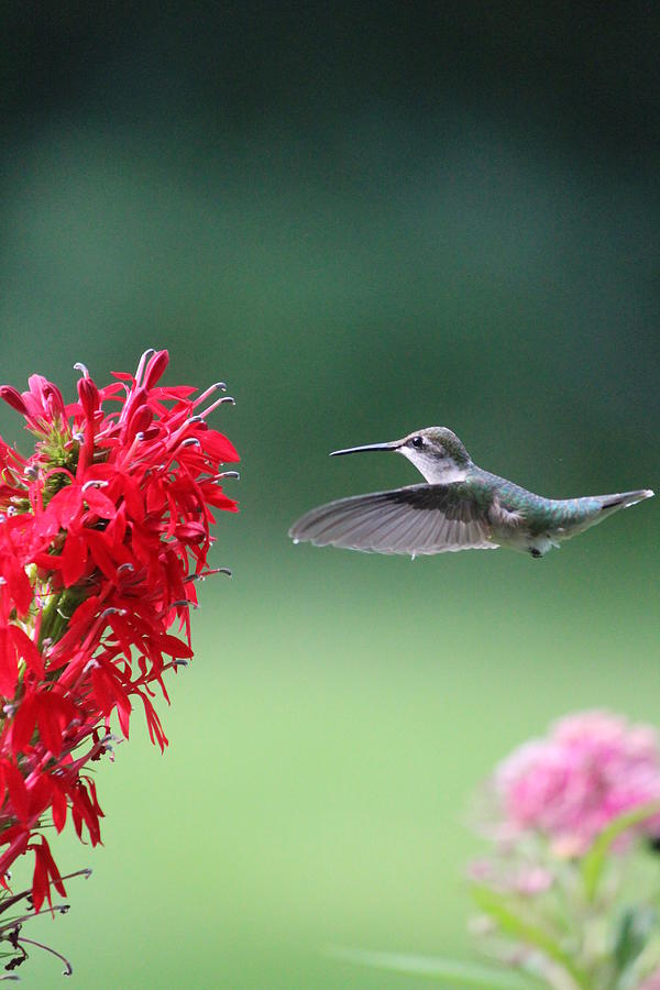 Ruby-throated Hummingbird Photograph - Hovering Hummingbird by Callen Harty