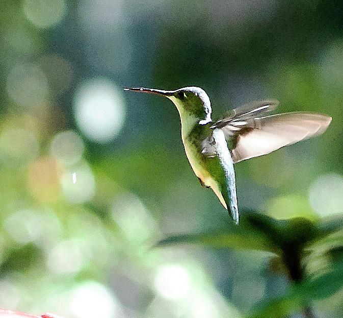 Ruby-throated Hummingbird Photograph - Hovering Hummingbird by Norman Johnson
