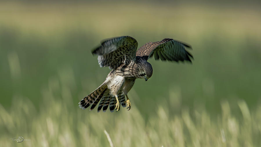 Hovering Young Kestrel Photograph