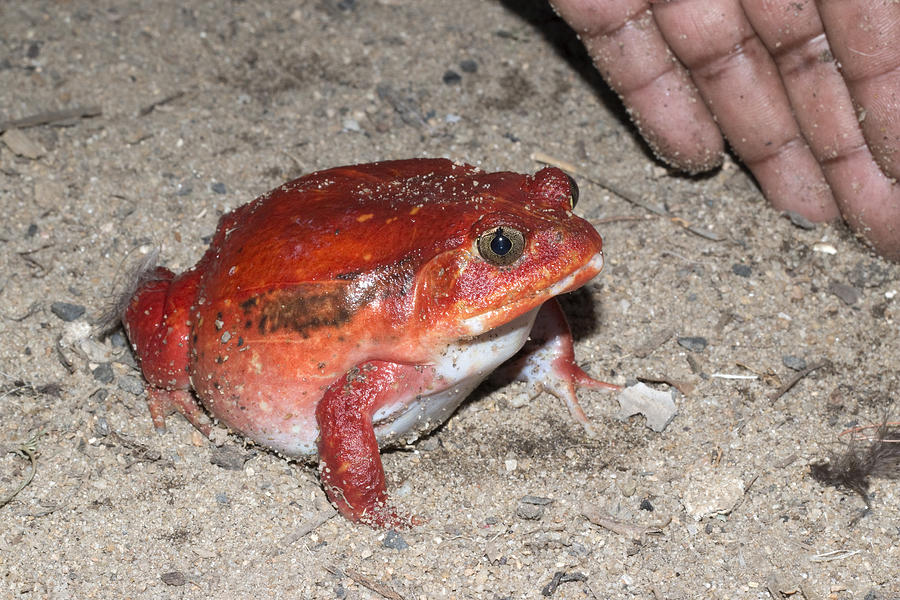 Huge red wild tomato frog with hand Maroantsetra Madagascar Photograph by David Parsons