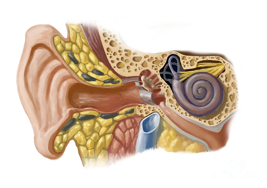 Anatomy Photograph - Human Ear by Spencer Sutton