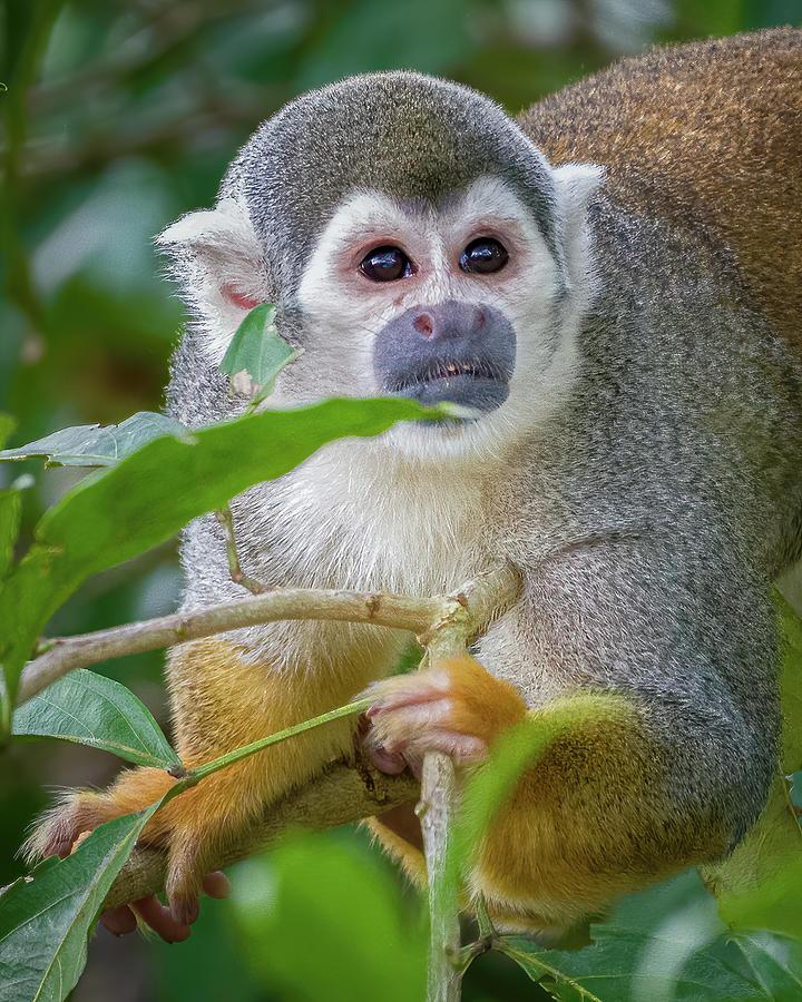 Humboldts Squirrel Monkey Kofan Puerto Asis Colombia by Adam Rainoff