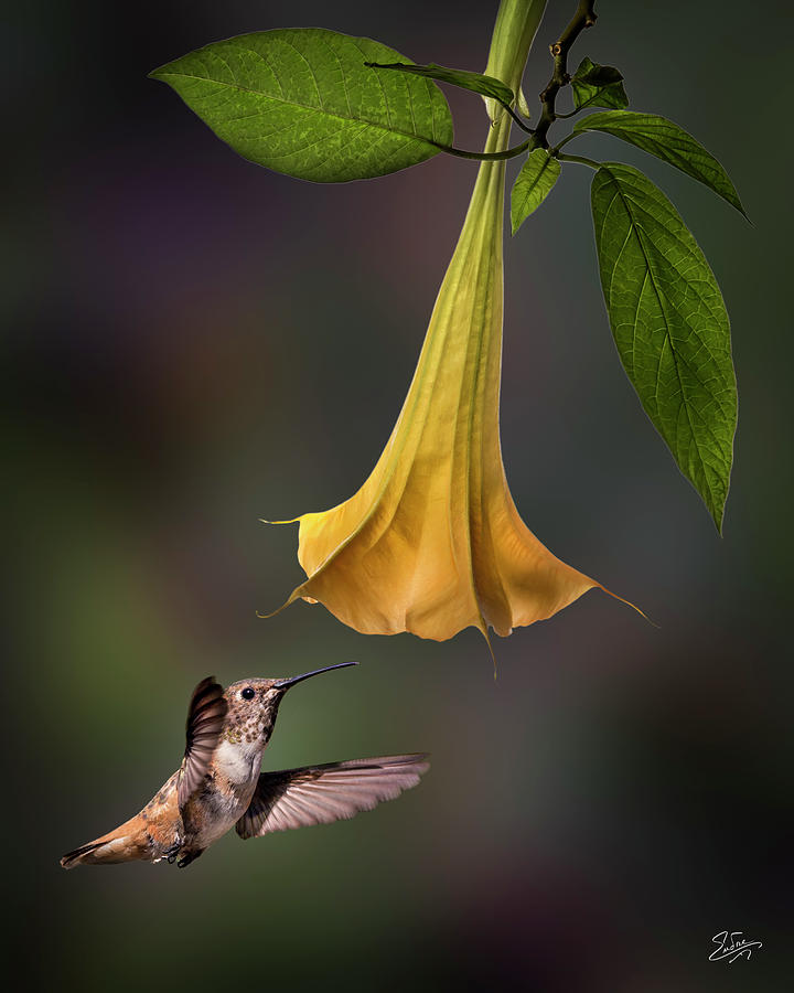 Hummingbird and Angel Trumpet by Endre Balogh