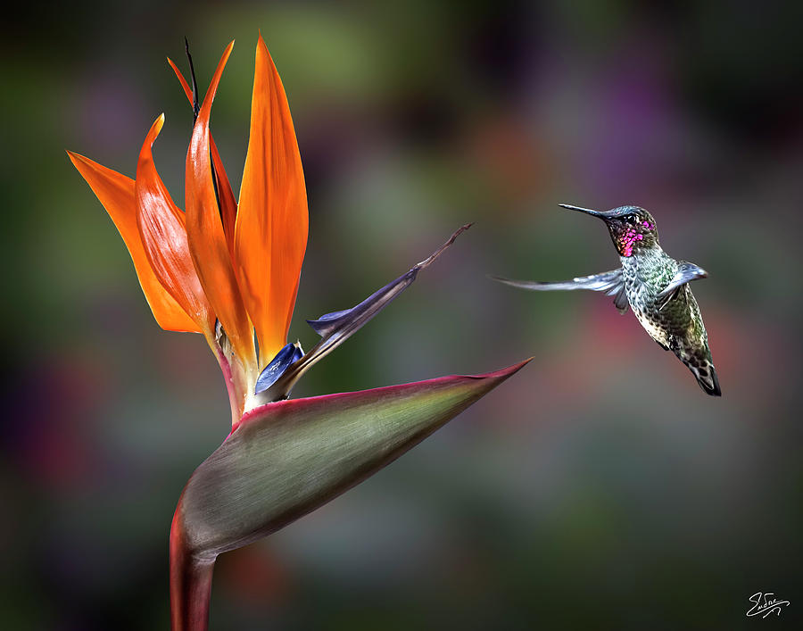 Hummingbird and Bird Of Paradise by Endre Balogh