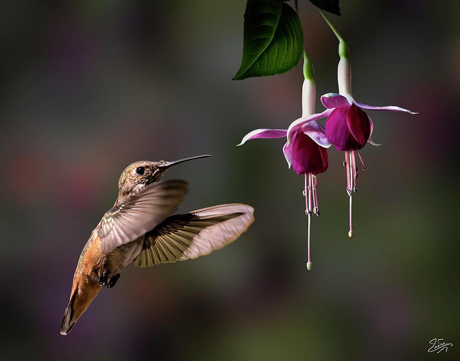 Hummingbird and Fuchsias 2 by Endre Balogh