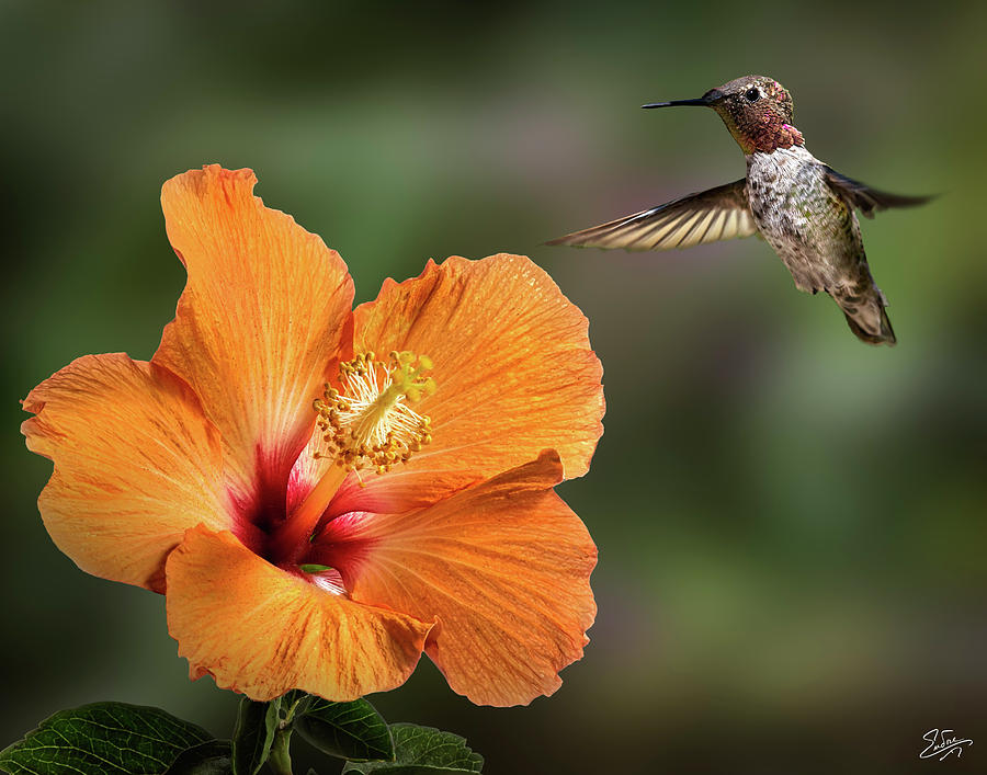 Hummingbird and Peach Hibiscus by Endre Balogh