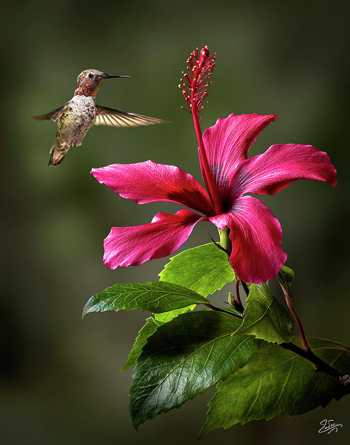 Hummingbird and Red Hibiscus by Endre Balogh