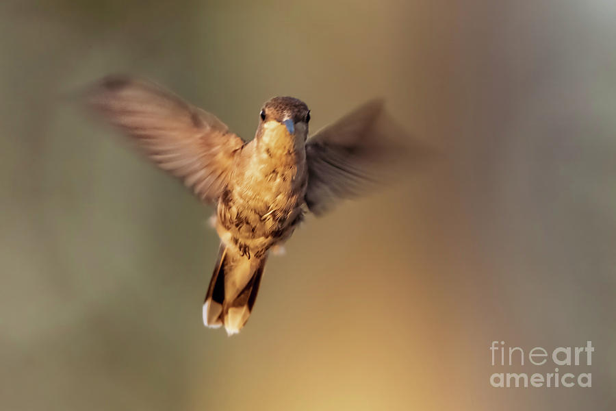 Hummingbird Photograph - Hummingbird Angel by Gaby Swanson
