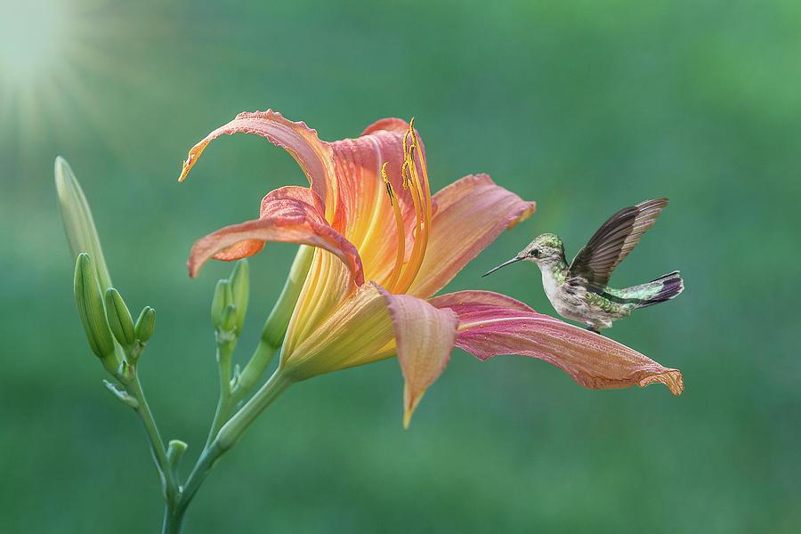 Hummingbird Daylily by Patti Deters
