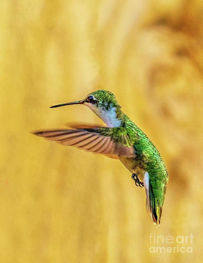 Hummingbird Flight Photograph