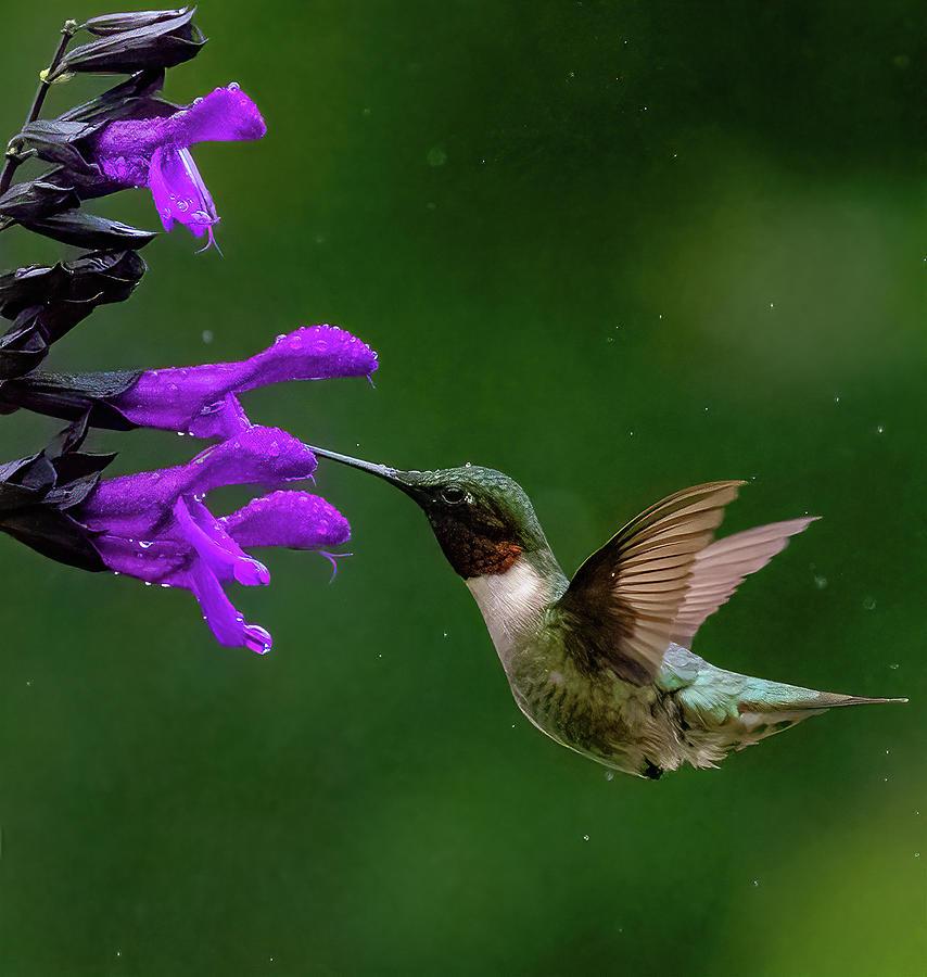 Hummingbird In Rain Photograph