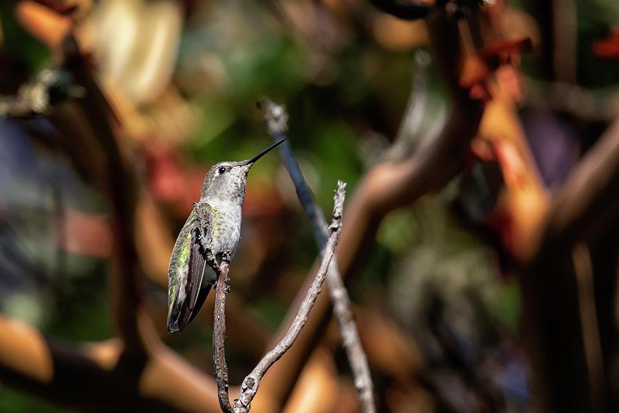 Rufous Hummingbird Photograph - Hummingbird on Arbutus by Randy Hall