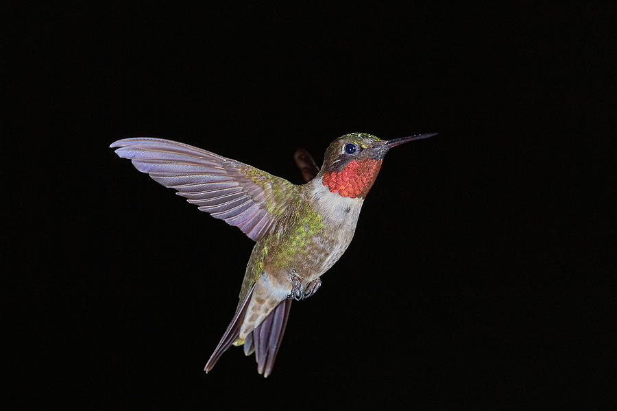 Hummingbird Portrait by Paul Freidlund
