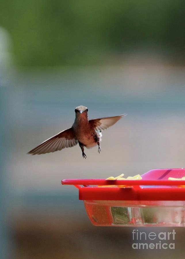 Hummingbird Thank You Photograph