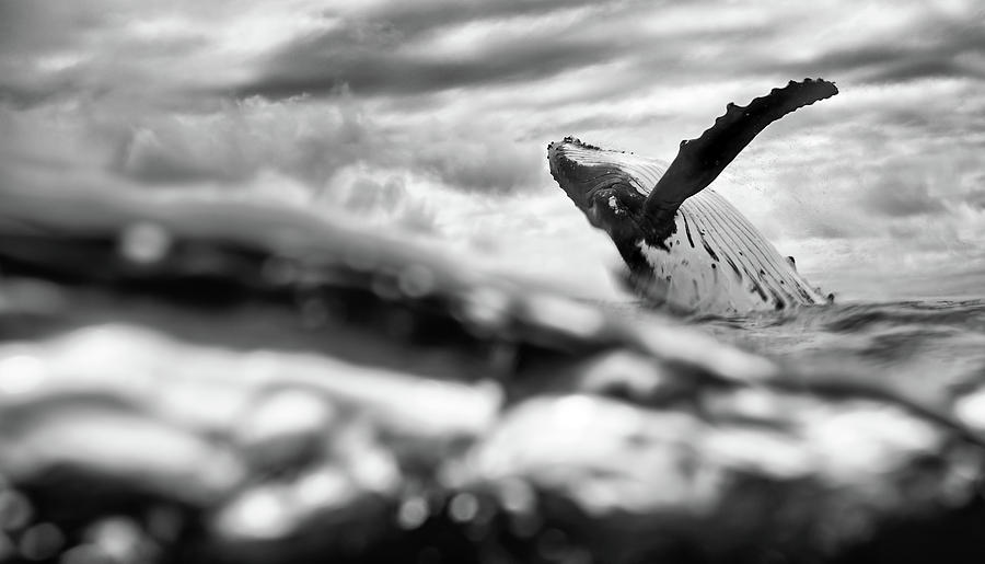 Humpback Breach from Below by Max Waugh