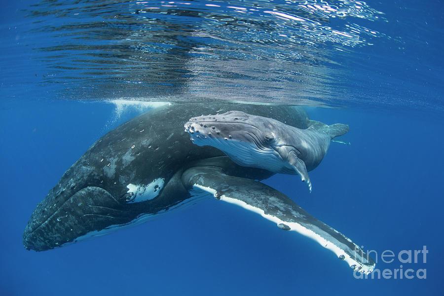 Humpback Whale and Calf by Suzi Eszterhas