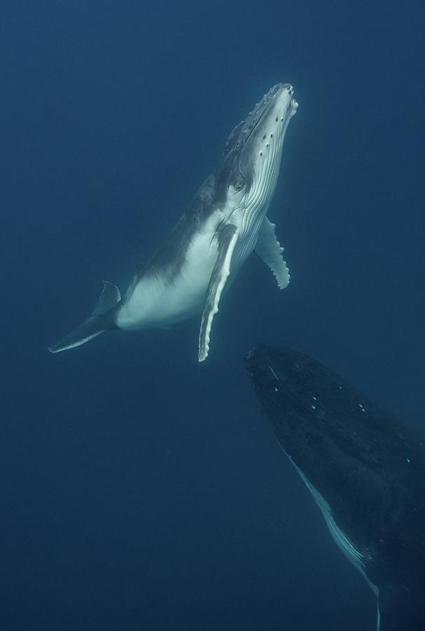 Humpback Whale Calf by Max Waugh
