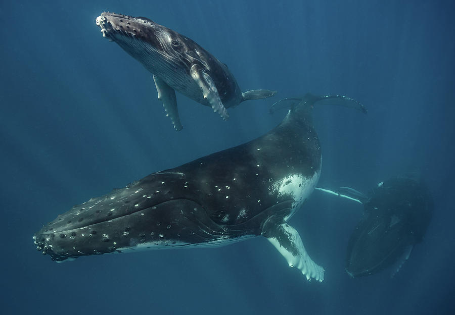 Humpback Whale Family by Max Waugh