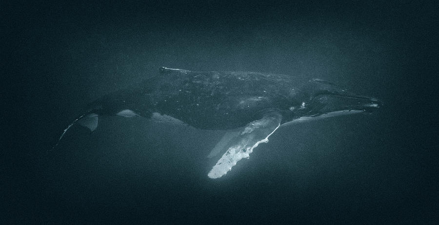 Humpback Whale Profile by Max Waugh