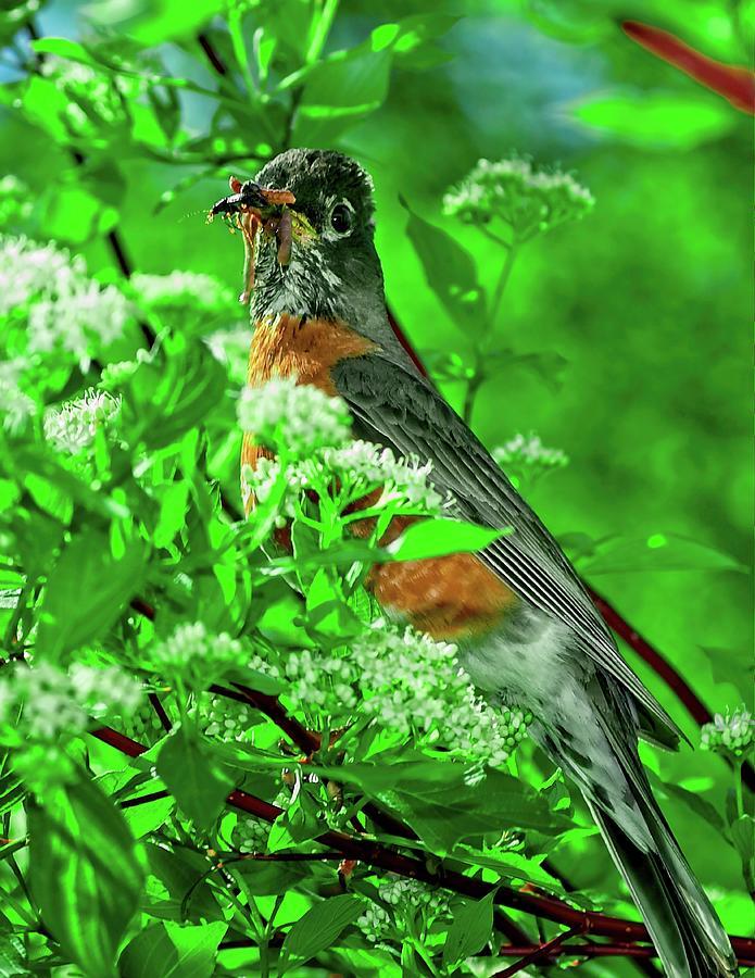 Hungry Robin by John Bates
