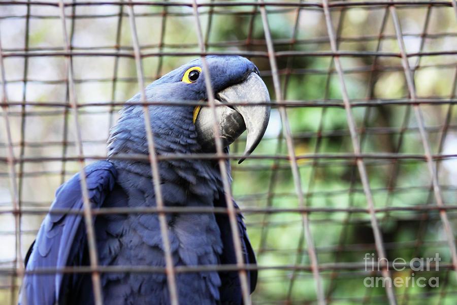 Hyacinth Macaw  by Bridget Mejer