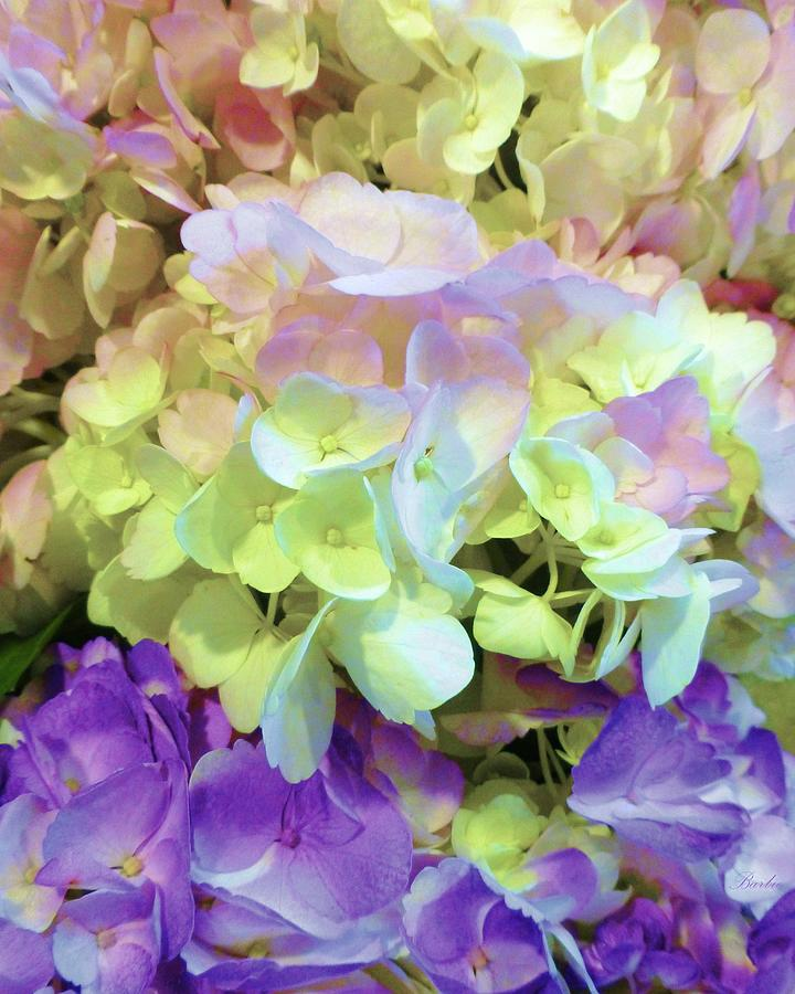 Hydrangea Fantasia Photograph