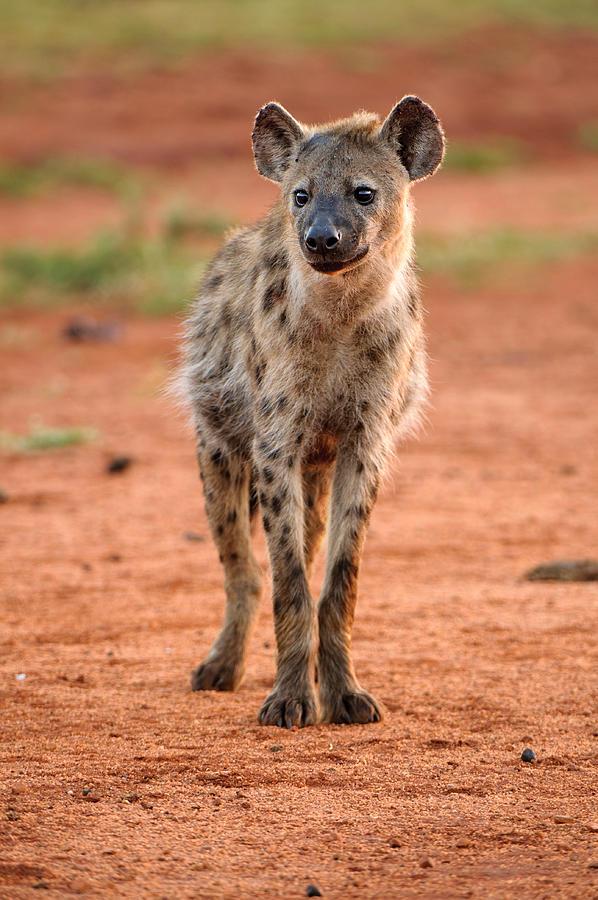 Hyena On Field Photograph by Louise Donald / EyeEm